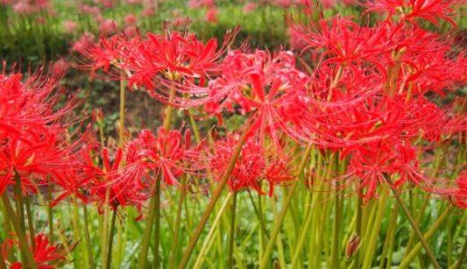 【奈良】大淀町の世尊寺は彼岸花の穴場スポット!サルスベリは珍しい白色