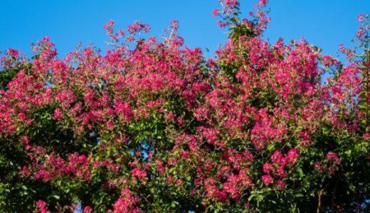 石光寺のサルスベリ開花情報!秋の見頃と冬の変わった楽しみ方も紹介