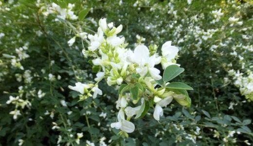 秋篠寺の萩は夏と秋に咲く!種類は?開花情報や見頃と場所なども