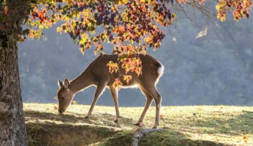 【奈良公園の紅葉】完全ガイド!いにしえの歴史を感じる秋