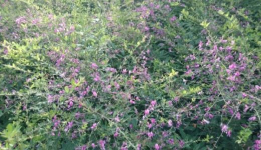 新薬師寺の萩は伐採されて少ない!見頃や開花時期と残っている場所