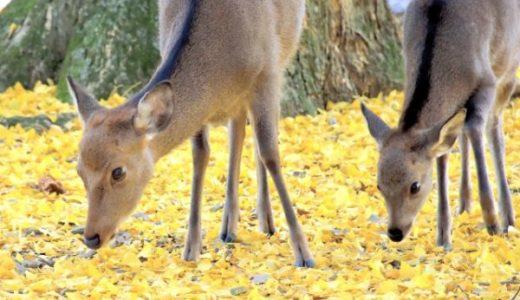 奈良公園のイチョウ!おすすめ5選の見頃や場所!鹿とのコラボもあり